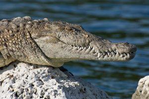 America Crocodile