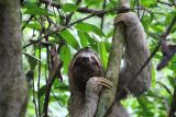 Central American Sloth